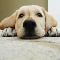 Você sabe o que é torção gástrica em cães?